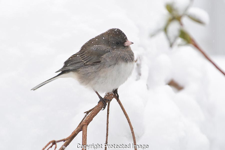 The junco had its fleathers fluffed to give it more insolation fromt he cold and the snow rested on its back withou melting.  The bird didn't seem to mind the snow and peacefully sat for several minutes. (G.T. Bancroft)
