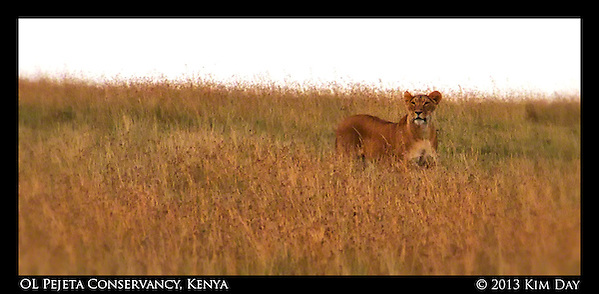 Lion stalking warthog in the OL Pejeta Conservancy.September 2012 - Kenya (Kim Day)
