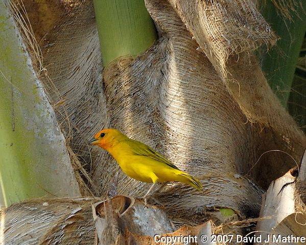 Saffron Finch in a Palm Tree. Kona, Hawaii. Image taken with a Nikon D2xs and 80-400 mm VR lens (ISO 400, 400 mm, f/8, 1/640 sec). (David J. Mathre)
