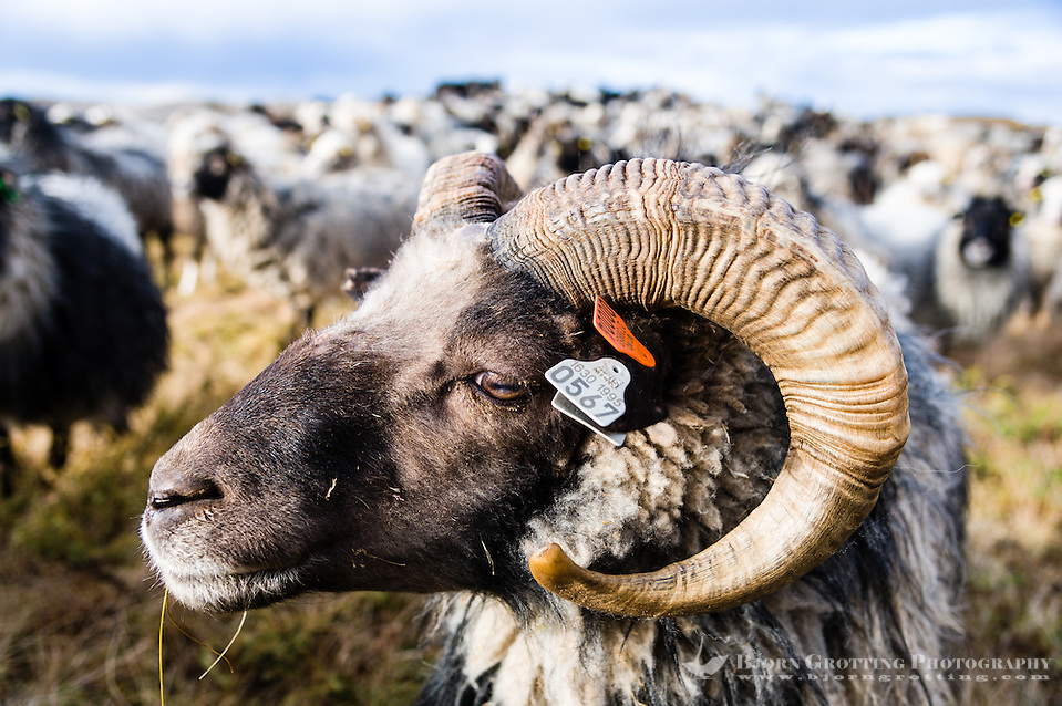 Stokksund, Norway. Domestic sheep. (Photo Bjorn Grotting)