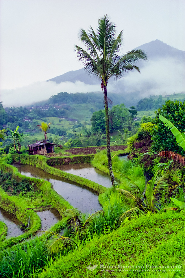 Bali, Tabanan, Jatiluwih. At 700m altitude, with beatiful terraced paddy fields. Rice terraces in the afternoon sun. (Photo Bjorn Grotting)