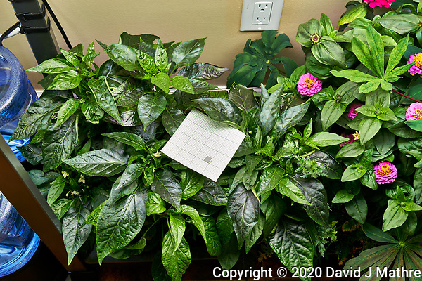 AeroGarden Farm 03, Left. Pepper Plants (136 days). Image taken with a Leica TL-2 camera and 35 mm f/1.4 lens (ISO 250, 35 mm, f/8, 1/30 sec). (DAVID J MATHRE)