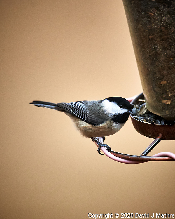 Black-capped Chickadee. Image taken with a Nikon D5 camera and 600 mm f/4 VR lens (DAVID J MATHRE)