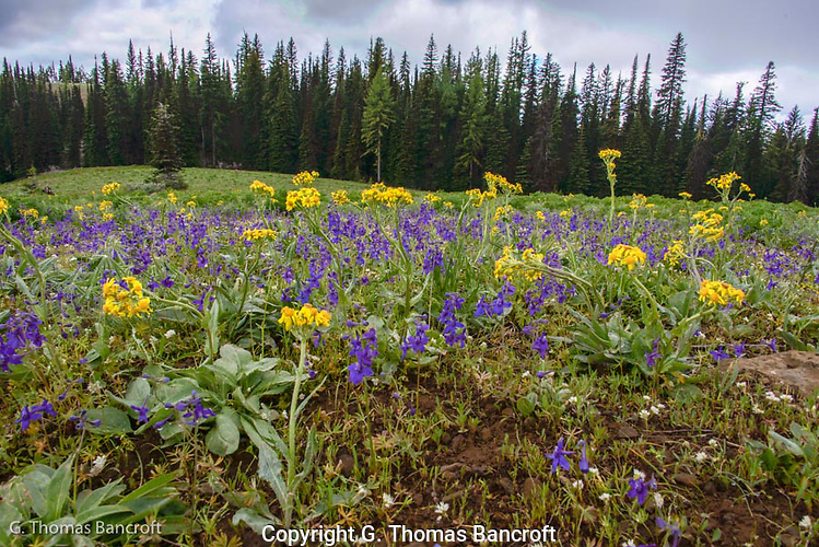The early summer wildflowers were in full bloom in the open bald near Diamon Peak.  Thick stands of larsspr and groundsel were blooming.  The lupines were just starting to open. (G. Thomas Bancroft)