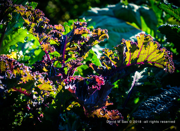 8.27.18 - Red Kale.... (© David M Sax 2018 - all rights reserved)