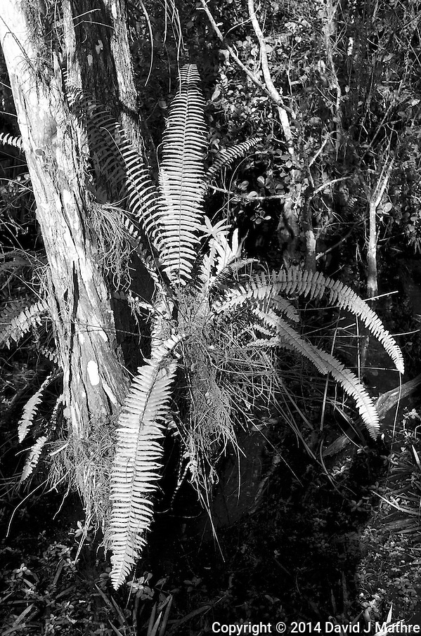 Swamp walk with Kristen and Angela in the Everglades behind Clyde Butcher's Big Cypress Gallery. Image taken with a Leica X2 camera (ISO 100, 24 mm, f/4.5, 1/125 sec). (David J Mathre)