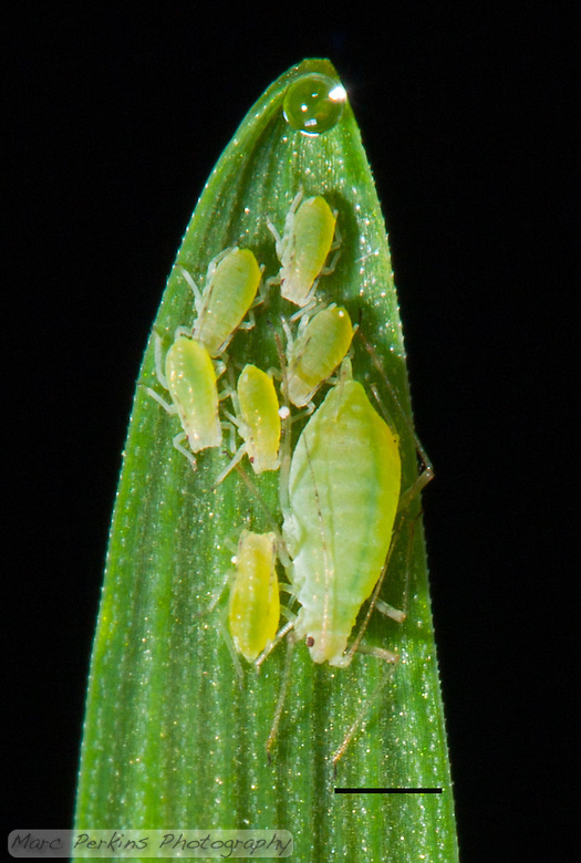 "This is a severe crop of my original ""Home on the Range"" image, highlighting the detail visible on the aphids.  A small family of green aphids stands on the end of a stalk of tack oat grass, {Avena sativa}, that has a tiny drop of clear water at the tip (because it is guttating due to high-humidity).  There is one larger aphid (most likely a wingless parthenogenetically reproducing female, possibly a fundatrix) and six smaller aphids (probably her offspring / babies).  I'm not certain what species of aphid these are, but they may be {Diuraphis noxia}, the Russian Wheat Aphid.  The scale bar (lower-right) is 1mm long; a version of this image without the scale bar is available upon request. (Marc C. Perkins)"