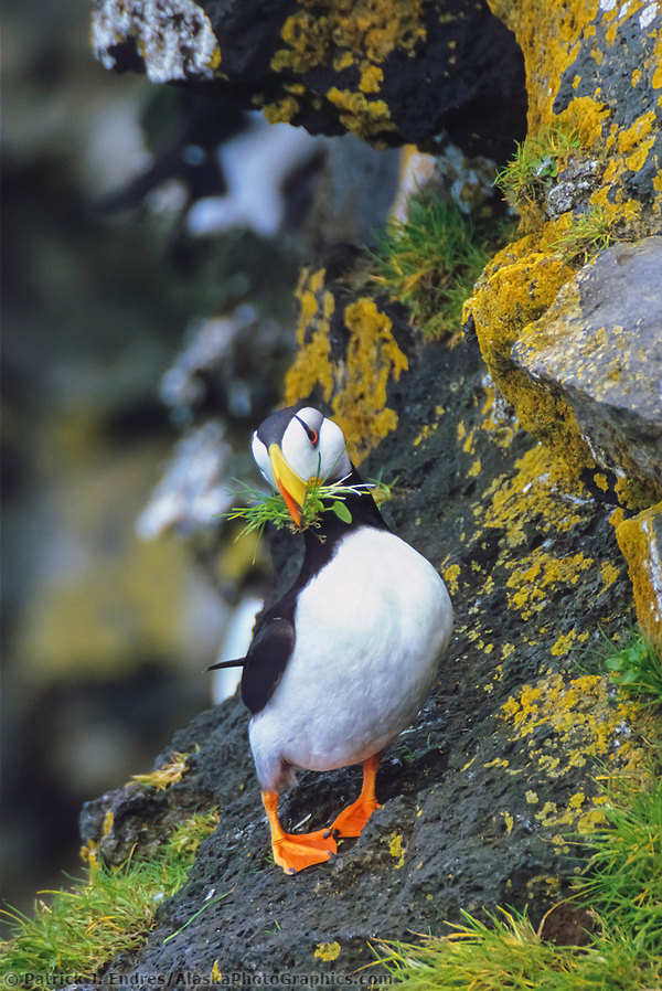 Horned Puffin with nesting grass in beak, St. Paul Island, Pribilof Islands, Alaska. (Patrick J. Endres / AlaskaPhotoGraphics.com)