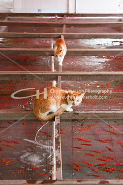 Cats inspect gold fish in Shanghai zoo, China (Christopher Holt LTD London UK, Christopher Holt LTD - LondonUK, Christopher Holt LTD/Image by Christopher Holt - www.christopherholt.com)
