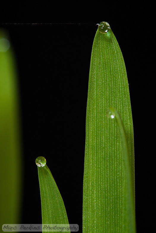 "Two stalks of tack oat grass {Avena sativa} stand against a black background with large drops of clear water at their tips.  The water is present because the grass is guttating; guttation is a process wherein plants release water at the tips of their stems due to root pressure.  This closeup also includes a tiny strand of spider silk connecting a hook on the top-most blade of grass to an unseen blade of grass off-camera left.  This image is on a clean black background, with only two other strands of grass even in the frame, and both of those are blurred out of focus to not detract from the two primary focal points.  This is an uncropped image, so it should be able to be enlarged to print at 16x24"" easily.  The scale bar (lower-left) is 1mm long; a version of this image without the scale bar is available upon request. (Marc C. Perkins)"