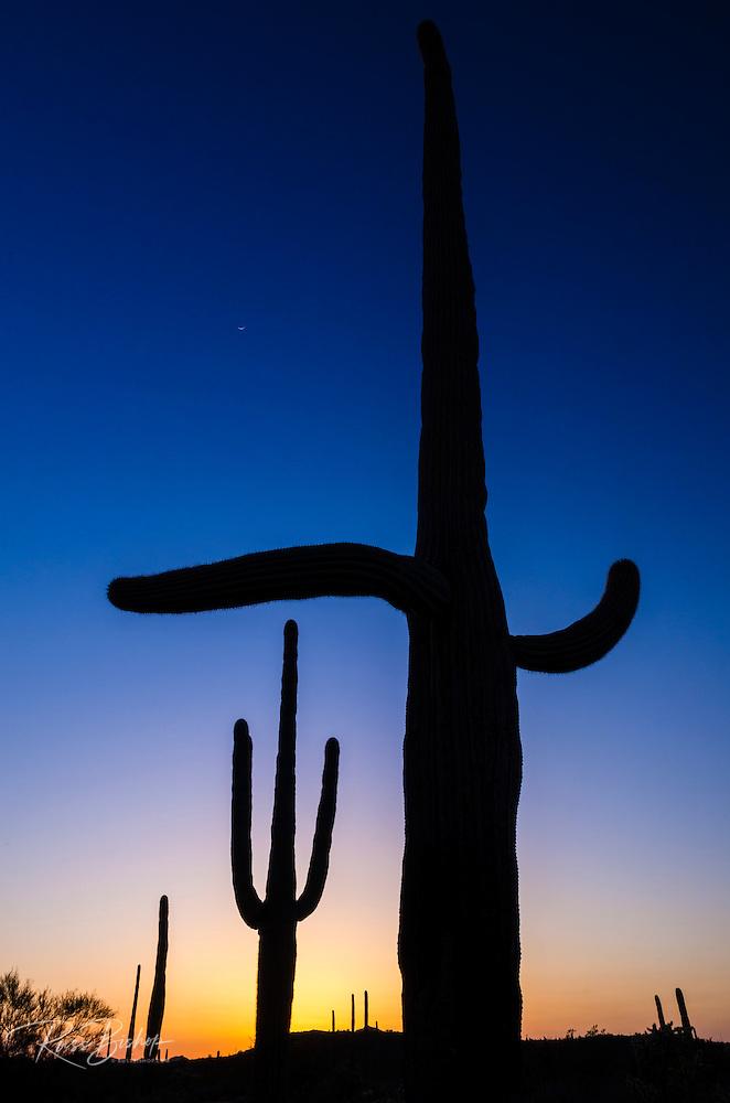 Saguaro cactus at sunset, Organ Pipe Cactus National Monument, Arizona USA (© Russ Bishop/www.russbishop.com)