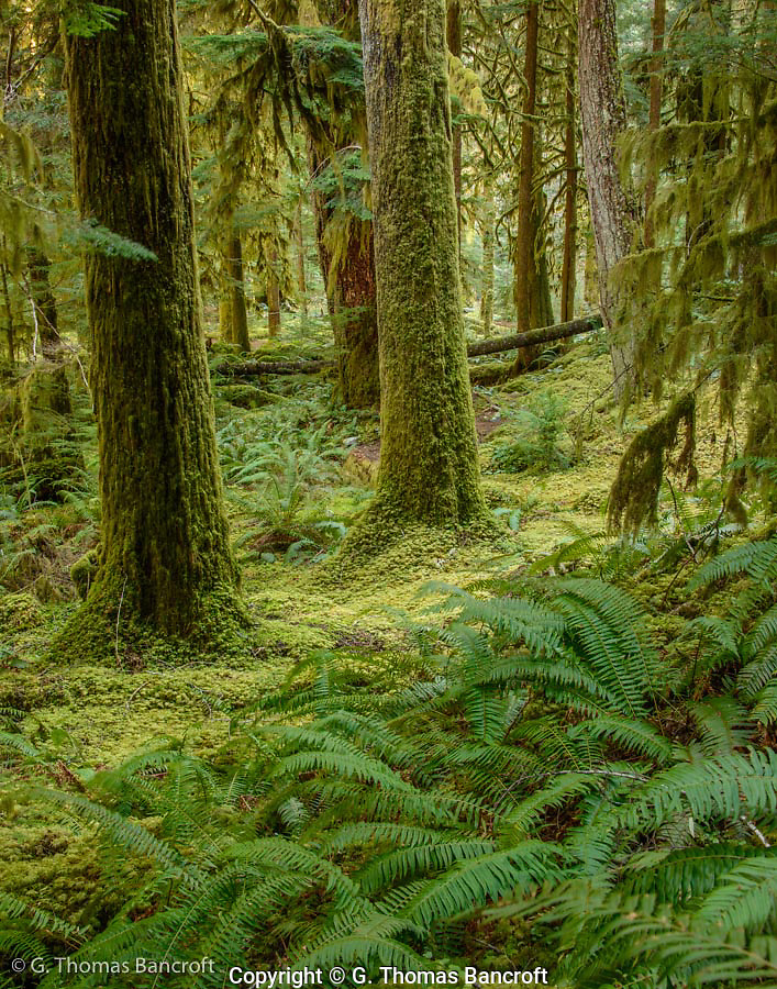Sword Ferns and moss covered the understory along Lillian River. (G. Thomas Bancroft)