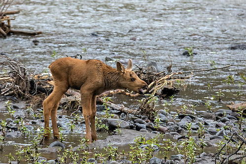 Stranded on the flooded island, the tiny moose calf calls for his mother who has left the island to feed along the shoreline.  After a short while, the cow returned to comfort her calf. (Sandy Sisti)