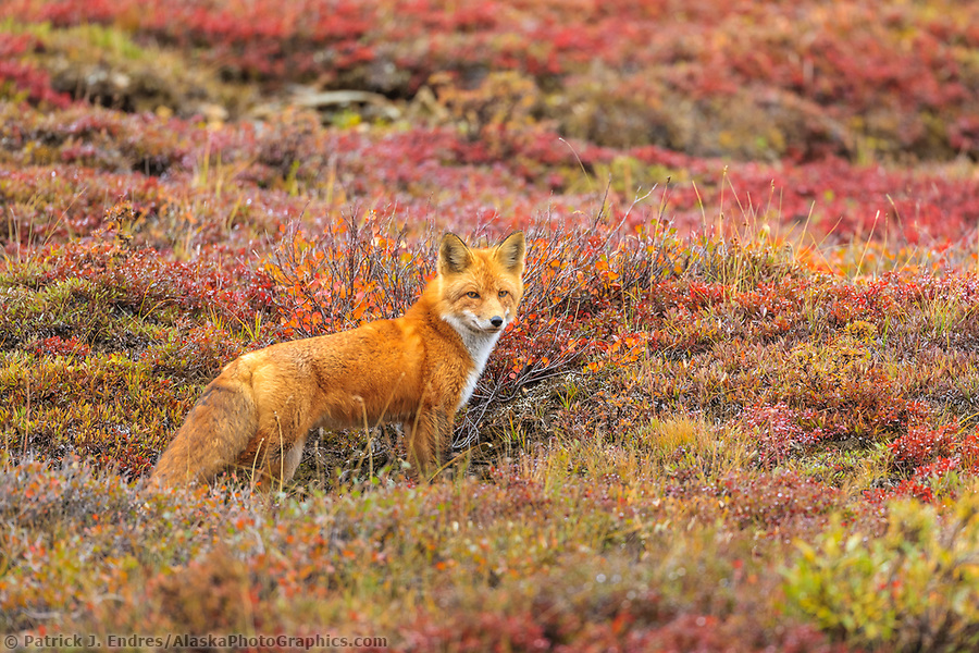 Red fox stands on the autumn tundra in Denali National Park. (Patrick J. Endres / AlaskaPhotoGraphics.com)