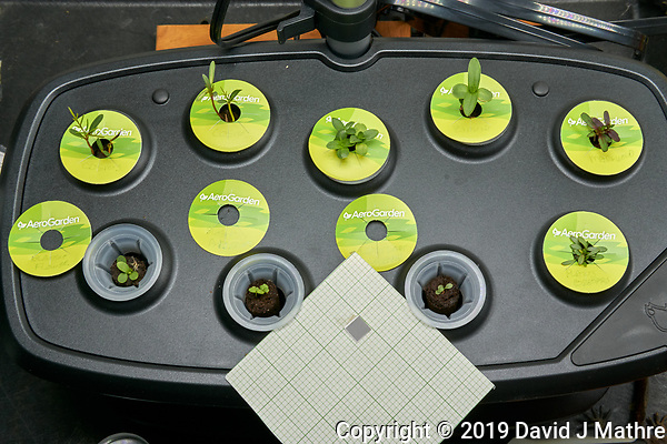 AeroGarden Foyer Bounty Left at 10 days. 1) Cosmos Dwarf Sensation; 2) Cosmos Early Dwarf; 3) Zinnia Thumbelina; 4) Zinnia Lilliput Mix; 5) Marigold Sparky Mix; 6) Blanket Flower; 7) Sweet Alyssum; 8) Coreopsis Lance-leaf; 9) Coreopsis Plains. Image taken with a Leica TL-2 camera and 35 mm f/1.4 lens. (DAVID J MATHRE)
