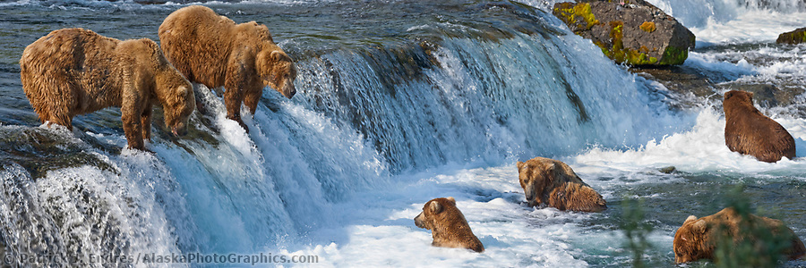 Panorama of brown bears fsihing for salmong at Brooks Falls on the Brooks River, Katmai National Park, Alaska. (Patrick J. Endres / AlaskaPhotoGraphics.com)