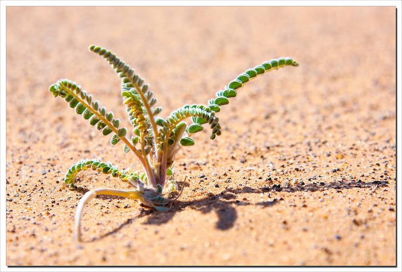 Tiny desert plant in sand. (Rosa Frei)