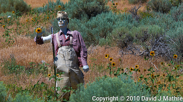 Zombie Sunflower Farmer. Image taken with a Nikon D300 camera and 80-400 mm VR lens (ISO 200, 220 mm, f/8, 1/1000 sec) (David J Mathre)
