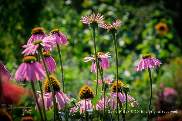 7.29,18 - Echinacea... (©David M Sax 2018 - all rights reserved)