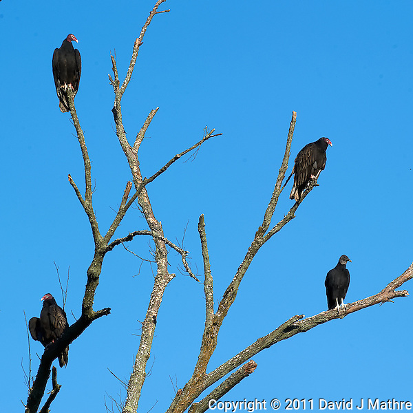 Turkey Vultures Morning Sun Perch. Autumn in New Jersey. Image taken with a Nikon D3s and 300 mm f/2.8 VR lens (ISO 200, 300 mm, f/13, 1/640). (David J Mathre)