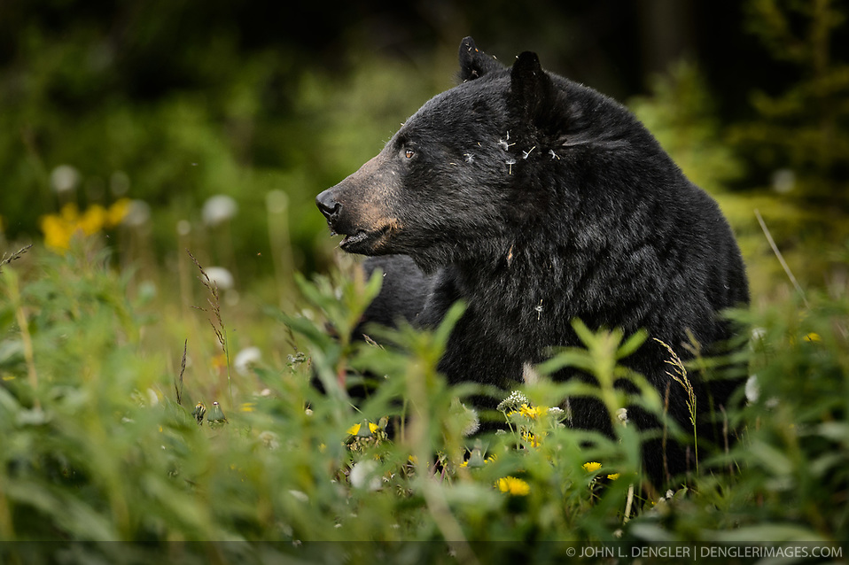 An American black bear (Ursus americanus), eats dandelions just outside the boundary of Kluane National Park and Preserve along Yukon Highway 3, near Gribbles Gulch in the Yukon Territory, Canada. While most of a black bear's diet is vegetation, black bears are omnivores meaning that they eat both plants and animals (grasses, berries, roots, insects, fish and mammals). Black bears typically weight 200 to 600 pounds. Not all black bears are black in color -- some are brown or even blond. They are most easily distinguished apart from grizzly bears by the lack of the pronounced shoulder hump found in a grizzly bear. The black bear is not considered to be a threatened species, though care to keep them from getting human food and garbage is needed to protect them from conflicts with humans. Kluane National Park and Reserve is known for it's  massive mountains, spectacular glacier and icefield landscapes including Canada's tallest peak, Mount Logan (19,545 ft.). The 5.4 million acre park is also known for it's wildlife, including grizzly bears, wolves, caribou and Dall sheep. The park is one of a collection of U.S. and Canadian national and provincial parks that form the largest international protected area in the world. Kluane National Park and Reserve was selected as a UNESCO World Heritage Site for being an outstanding wilderness of global significance. EDITORS NOTE: Image is a slightly cropped version of Image ID: I0000xjOvlNPfAYk (John L. Dengler)