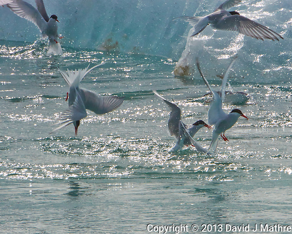 Arctic Tern Fishing Frenzy. Image taken with a Nikon 1 V2 camera, FT1 adapter, and 80-400 mm VRII lens (ISO 400, 400 mm, f/16, 1/1000 sec). (David J Mathre)