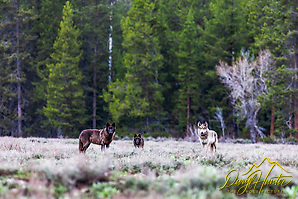 Three wolves of the Pacific Creek pack that roams Grand Teton National Park sizing up photographer pondering upon the taste. 