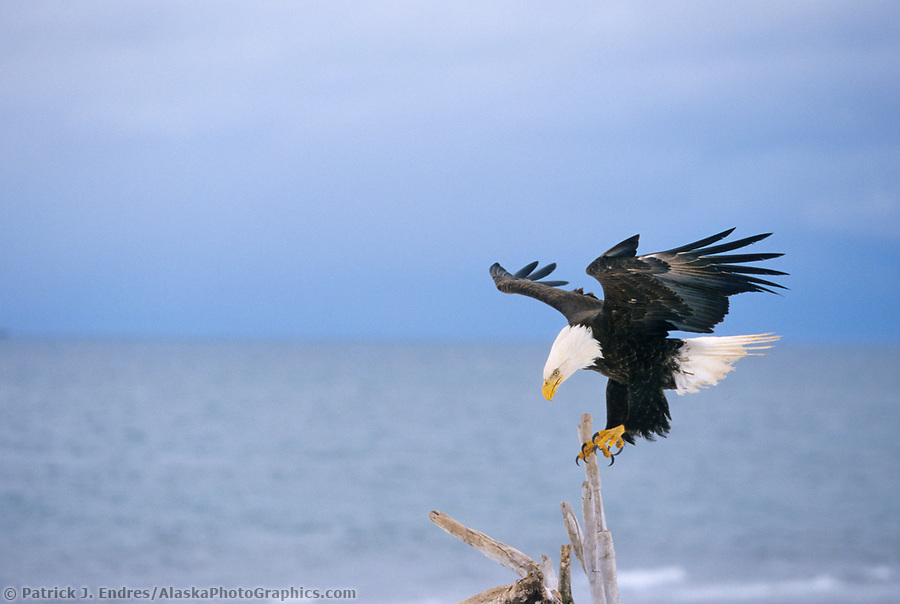 Bald eagle lands on a driftwood branch, Homer, Alaska (Patrick J. Endres / AlaskaPhotoGraphics.com)