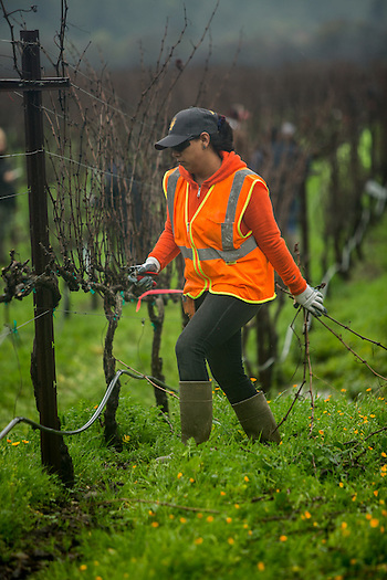 Walsh Vineyard employee Alexandra Oregel participates in the The Napa Grape Growers Association and the Napa Valley Farm Workers Foundation annual vine pruning competition in Yountville, CA. (Clark James Mishler)