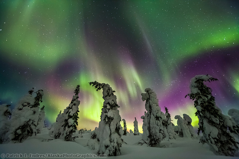 Aurora borealis over snow covered spruce trees, interior, Alaska. (Patrick J. Endres / AlaskaPhotoGraphics.com)
