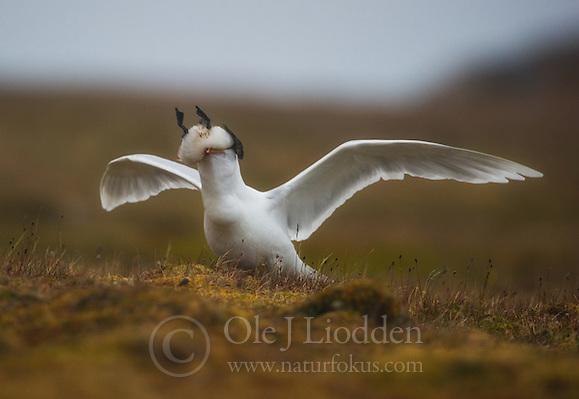 Glaucous Gull (larus hyperboreus) eating a gulliemot chick (Ole Jørgen Liodden)