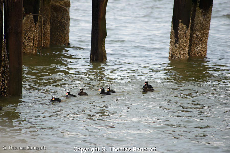 A group of Surf Scoters drift in past the end of the peer heading toward a feeding area. (G. Thomas Bancroft)