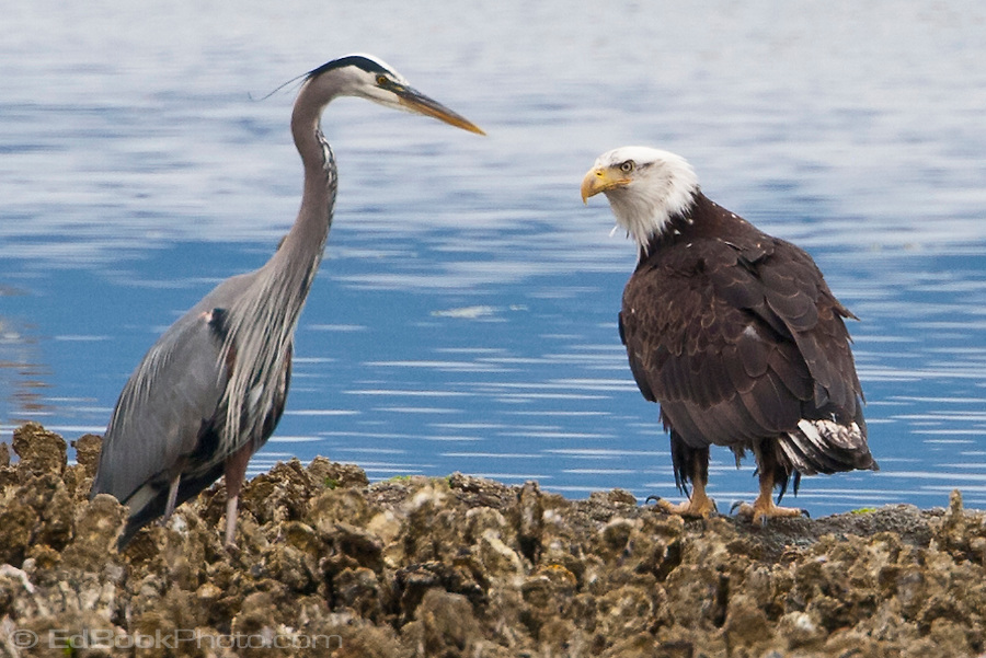 a Bald Eagle (Haliaeetus leucocephalus) eyes a Great Blue Heron (Ardea herodias) along a Pacific Oyster bed on the shore of the Hood Canal of Puget Sound, Washington, USA (Ed Book)