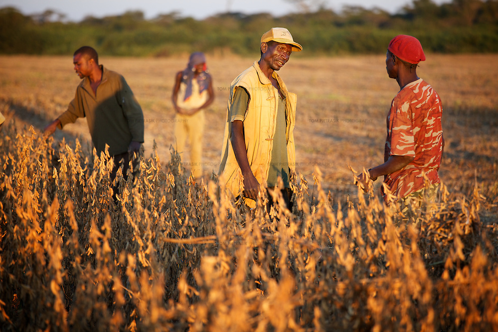 Workers in a field of soya beans at a farm in Zambia. Photo: Tom Pietrasik.Chaisamba, Central Province, Zambia. 2012 (Tom Pietrasik)