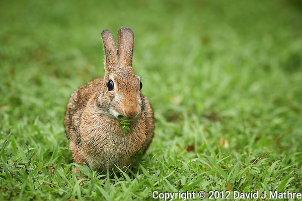 Rabbit Eating Clover in the Rain. Summer Nature in New Jersey. Image taken with a Nikon D800 and 300 mm f/2.8 VR lens (ISO 800, 300 mm, f/4, 1/125 sec). (David J Mathre)
