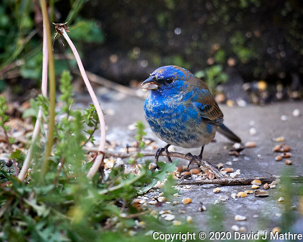 Male Indigo Bunting. Image taken with a Nikon D5 camera and 600 mm f/4 VR lens (ISO 200, 600 mm, f/4, 1/400 sec). (DAVID J MATHRE)