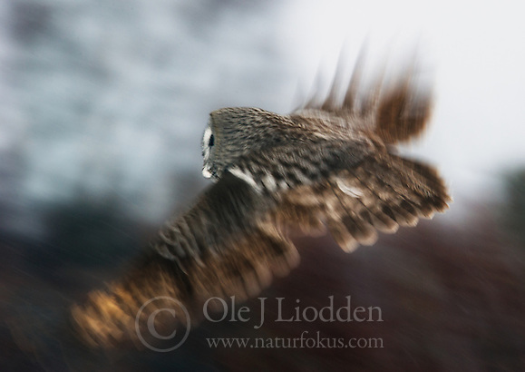 Great Grey Owl (Strix nebulosa) in flight, Lappland, Finland (Ole Jørgen Liodden)