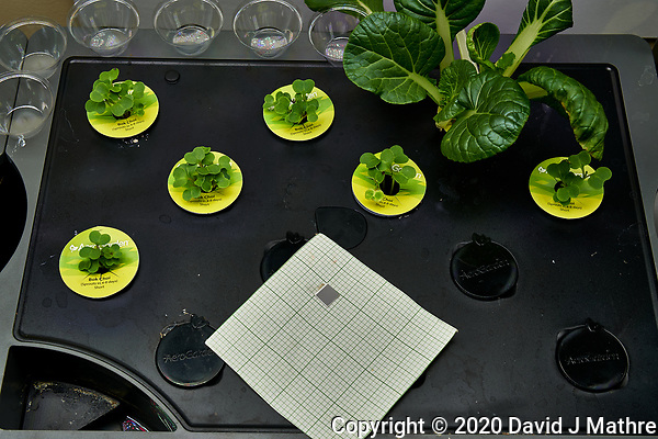 AeroGarden Farm 09-Right. Positions 01-02, 04-07 Bok Choi at day 7. Position 03 Bok Choi transfered from other Farm. Image taken with a Leica TL-2 camera and 35 mm f/1.4 lens (ISO 100, 35 mm, f/8, 1/30 sec). (DAVID J MATHRE)