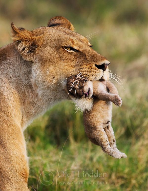 Lioness (Panthera leo) moving her newborn cub in Okavango, Botswana (Ole Jørgen Liodden)