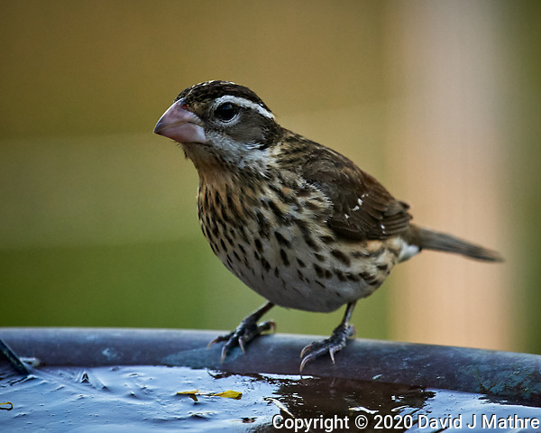 Female Rose-breasted Grosbeak (?). Image taken with a Nikon D5 camera and 600 mm f/4 VR lens (ISO 1600, 600 mm, f/5.6, 1/640 sec) (DAVID J MATHRE)