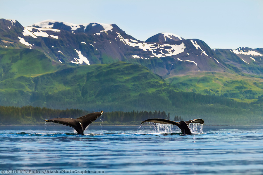 Marine wildlife photos: Humpback whales, Montague Island, Montague straits, Prince William Sound, Alaska (Patrick J. Endres / AlaskaPhotoGraphics.com)