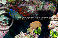 Queen Angelfish, Hoacanthus ciliaris, Grand Cayman (StevenWSmeltzer.com)