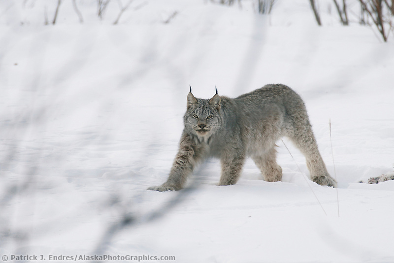 Lynx tucked away in the winter, snow covered boreal forest of the Brooks Range, Arctic, Alaska (Patrick J. Endres / AlaskaPhotoGraphics.com)