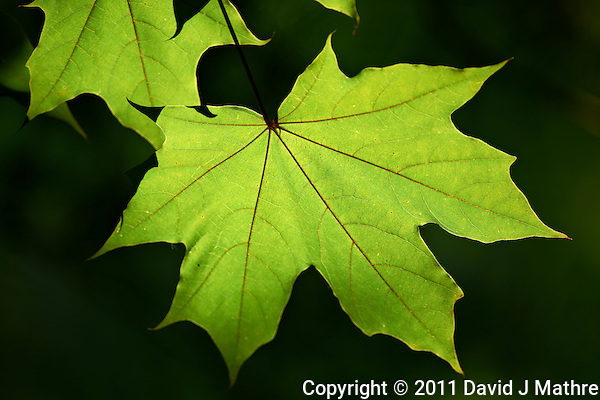 Backlit Maple Leaf. Backyard Nature in New Jersey.. Image taken with a Nikon D3x and 500 mm f/4 lens (ISO 125, 500 mm, f/4, 1/500 sec) handheld. Image processed with Capture One 6 Pro, Focus Magic, and Photoshop CS5. (David J Mathre)