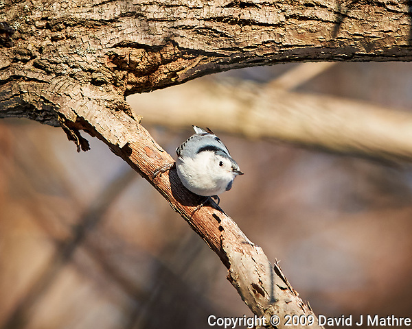 White-breasted Nuthatch. Image taken with a Nikon D3x camera and 400 mm f/2.8 lens (ISO 320, 400 mm, f/4, 1/1000 sec). (David J Mathre)