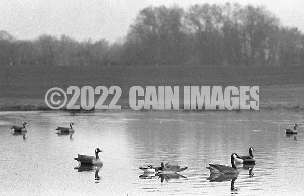 A goose lies in the pond after being shot by hunters as decoy geese float and bait the trap Saturday November 2, 1991 in Buckingham, Pennsylvania. (Photo by William Thomas Cain) (William Thomas Cain/Cain Images)