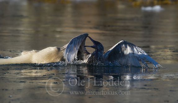 Polar bear attacking Glaucous Gull on Svalbard (Ole Jørgen Liodden)
