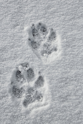 The distinctive track of the gray wolf is an exciting find when hiking in the wilds of Wyoming. Although on many occasions only the track is found, the knowledge that one is sharing the trail with wolves always makes the heart beat a little faster. (Sandy Sisti)