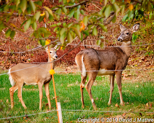 Doe and fawn (winter coat) outside my wildflower garden. Image taken with a Fuji X-H1 camera and 200 mm f/2 lens + 1.4x teleconverter (DAVID J MATHRE)