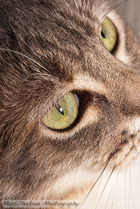 This vertically-cropped image is a closeup of a blue patched tabby and white domestic shorthair cat's face, focusing on the eye.  I don't take too many vertical images of my cats up close, and often don't like them, but this is an exception. (Marc C. Perkins)